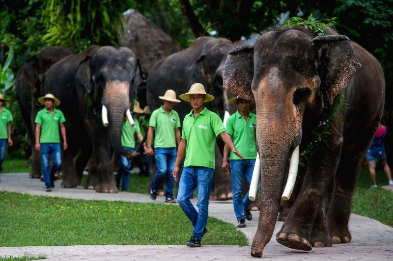 XISHUANGBANNA, Aug. 12, 2017 - Photo taken on Aug. 12, 2017 shows the elephant parade in the Wild Elephant Valley scenic area of Xishuangbanna Dai Autonomous Prefecture, southwest China's Yunnan ...
