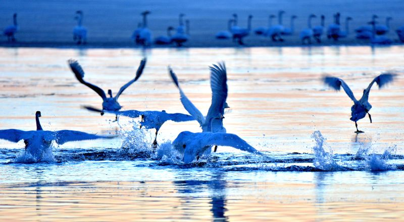 Swans fly over a lake in Bayan Hushuosumu grassland of Xiwuzhumuqin Banner, north China's Inner Mongolia Autonomous Region, April 22, 2015. Many migratory ...