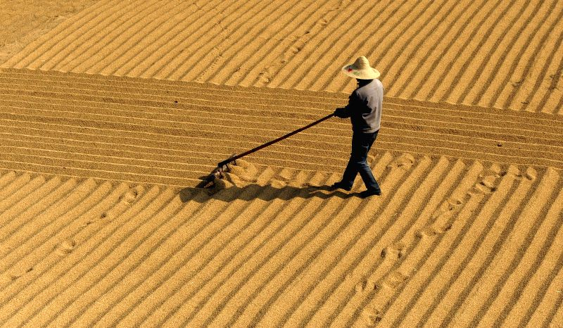 A farmer airs newly-harvest paddy in Dongqi Village, Gushan Township, Jiangyin City of east China's Jiangsu Province, Nov. 18, 2014. China's grain output expanded 0.9 percent from last year to .