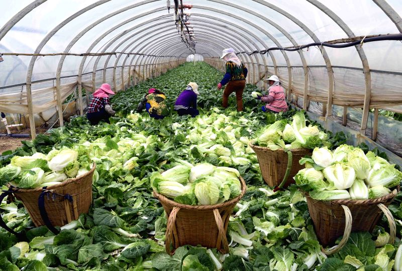 XUNDIAN, April 5, 2016 - Farmers collect vegetable in a greenhouse in Walong village of Qixing township, Xundian county of southwest China's Yunnan Province, April 5, 2016. In recent years, local ...