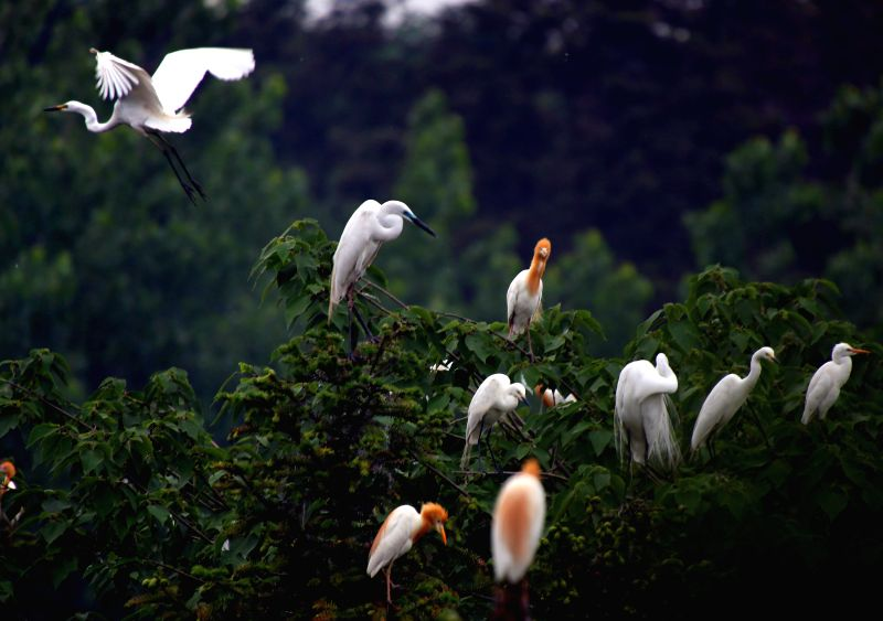 Egrets are seen resting in the Tieshansi National Forest Park in Xuyi County of Huai'an, east China's Jiangsu Province, April 14, 2014. The forests and ...