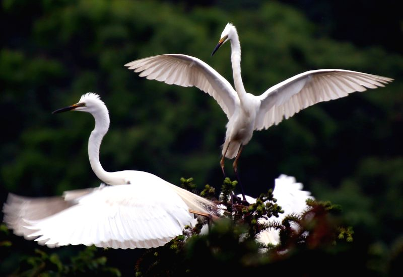 Egrets frolic in the Tieshansi National Forest Park in Xuyi County of Huai'an, east China's Jiangsu Province, April 14, 2014. The forests and freshwater lake ..