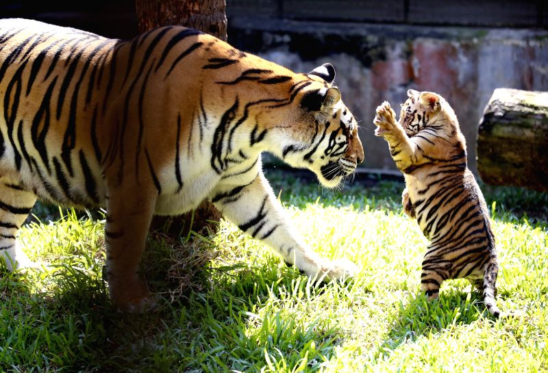 YANGON, Dec. 6, 2017 - A three-month-old tiger cub frolics with mother at the Yangon Zoological Garden in Yangon, Myanmar, Dec. 6, 2017. Two tiger cubs met with public on Tuesday for the first time ...