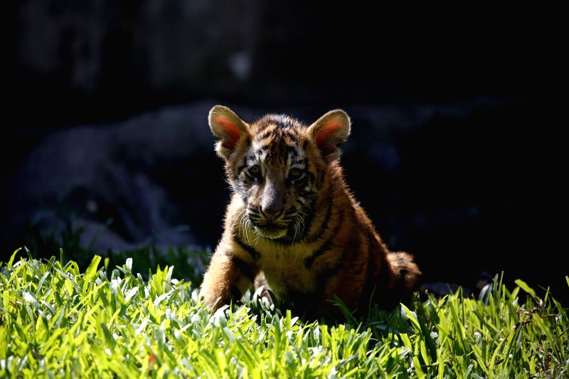 YANGON, Dec. 6, 2017 - A three-month-old tiger cub stays at the Yangon Zoological Garden in Yangon, Myanmar, Dec. 6, 2017. Two tiger cubs met with public on Tuesday for the first time since their ...