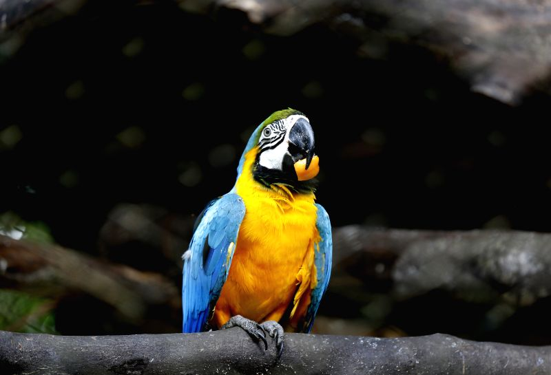YANGON, July 26, 2016 - Photo taken on July 26, 2016 shows a blue and yellow macaw at Zoological Gardens in Yangon, Myanmar. The Yangon Zoological Gardens (Yangon Zoo) is the oldest and the second ...
