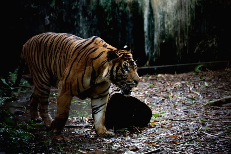 YANGON, July 30, 2019 (Xinhua) -- A tiger is seen at the Yangon Zoological Gardens in Yangon, Myanmar, July 30, 2019. At least 22 tigers remained in Myanmar, said the Forest Department Tuesday quoting its recent survey that covered 8 percent of the t