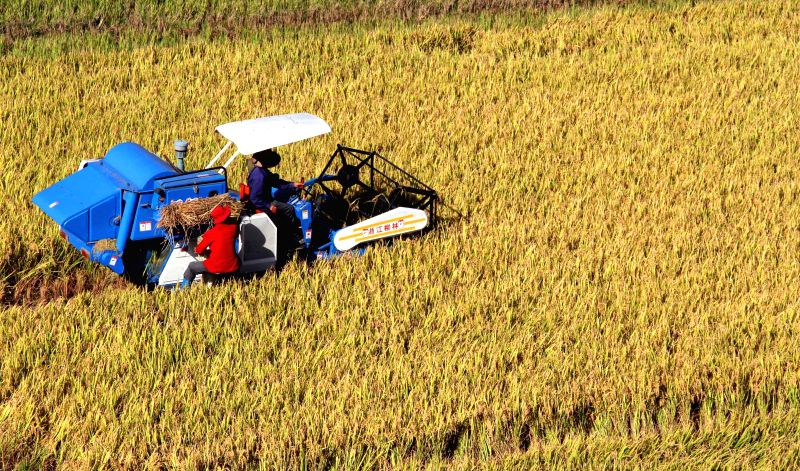 Farmers harvest in a paddy field in Shagang Village, Shuikou Township, Jing'an County, east China's Jiangxi Province, Nov. 6, 2014. China's grain output expanded 0.9 percent from last year to