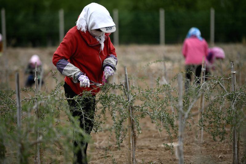 YINCHUAN, April 24, 2017 - Workers trim the wolfberry trees at a planting base in Zhongning County, northwest China's Ningxia Hui Autonomous Region, April 19, 2017. Ningxia, as a major base of ...