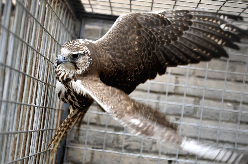 Yinchuan (China): A trafficked falcon in a cage for protection at Zhongshan Park in Yinchuan, capital of northwest China's Ningxia Hui Autonomous Region.  Local police of Ningxia recently uncovered a