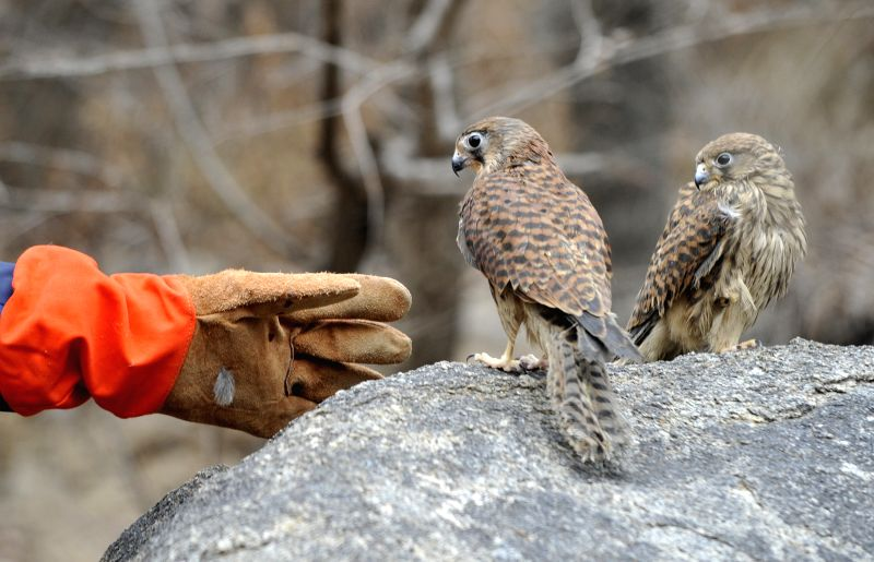 Yinchuan (China): Photo taken on Nov. 26, 2014 shows released falcons in Yinchuan, capital of northwest China's Ningxia Hui Autonomous Region.  Local police of Ningxia recently uncovered a case of ...