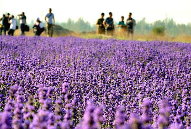 Photo taken on June 22, 2014 shows lavender fields in Yining County under Kazak Autonomous Prefecture of Ili, northwest China's Xinjiang Uygur Autonomous Region. ...
