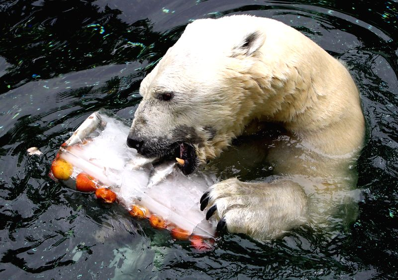 Polar bear Tonki enjoys food at the Everland Amusement Park in Yongin, Gyeonggi province, Korea, July 17, 2014. The polar bear is given special iced treats by zoo ...