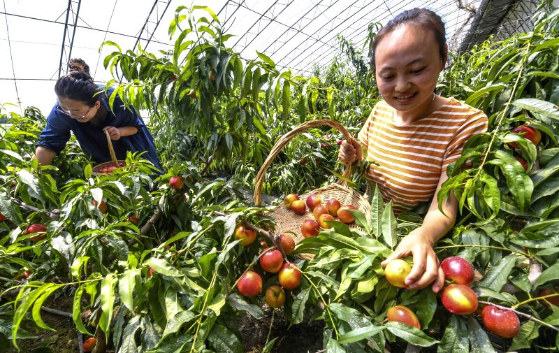 YONGQING, May 7, 2017 - Tourists pick nectarines at a greenhouse in Yongqing County, north China's Hebei Province, May 7, 2017.