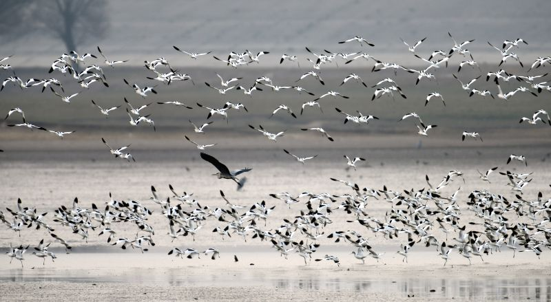 Birds fly above the wetland of the Dongting Lake in Yueyang, central China's Hunan Province, Jan. 20, 2015. The lake's administrative staff recorded more than ...
