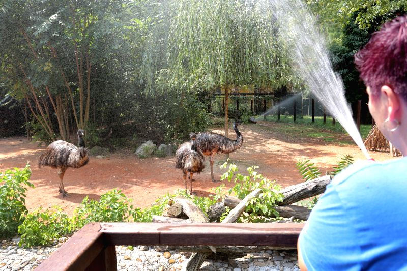 ZAGREB, Aug. 11, 2018 - A zookeeper sprays water on emus in a zoo in Zagreb, capital of Croatia, on Aug. 10, 2018. A heat wave continued to hit Croatia and many parts of Europe.