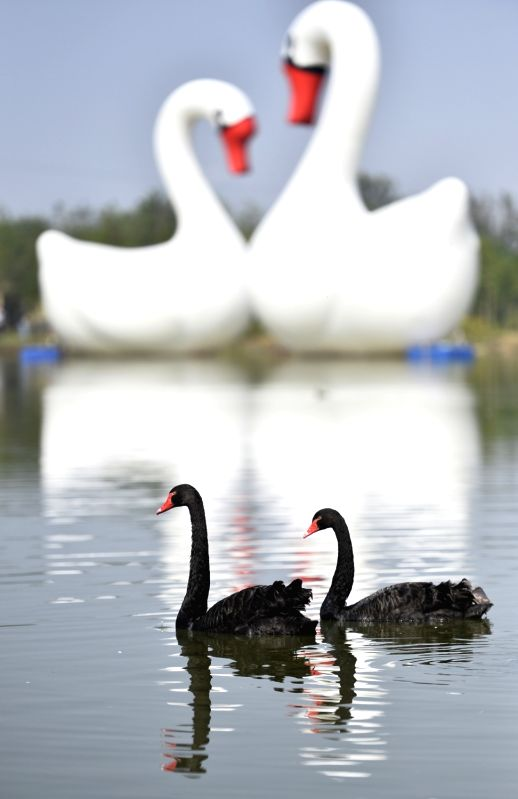 ZAOZHUANG, Oct. 6, 2017 - Two black swans swim in Shuanglonghu Wetland in Zaozhuang, east China's Shandong Province, Oct. 6, 2017.