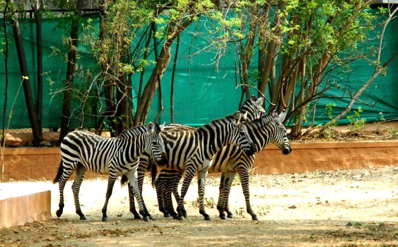 Zebras at Mysore Zoo in Mysore on April 28, 2014.