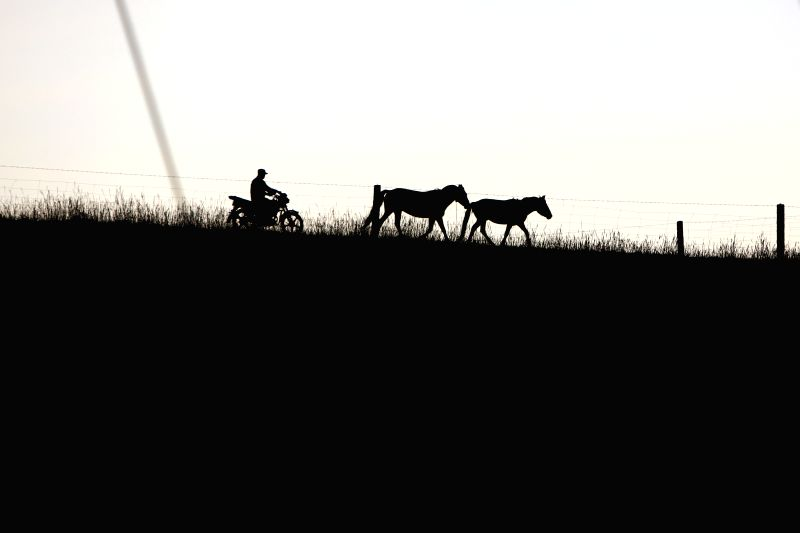 A herdsman drives a motorcycle as he drives two horse back home at the Shandan Horse Ranch in Zhangye City, northwest China's Gansu Province, Aug. 23, 2014. The ...