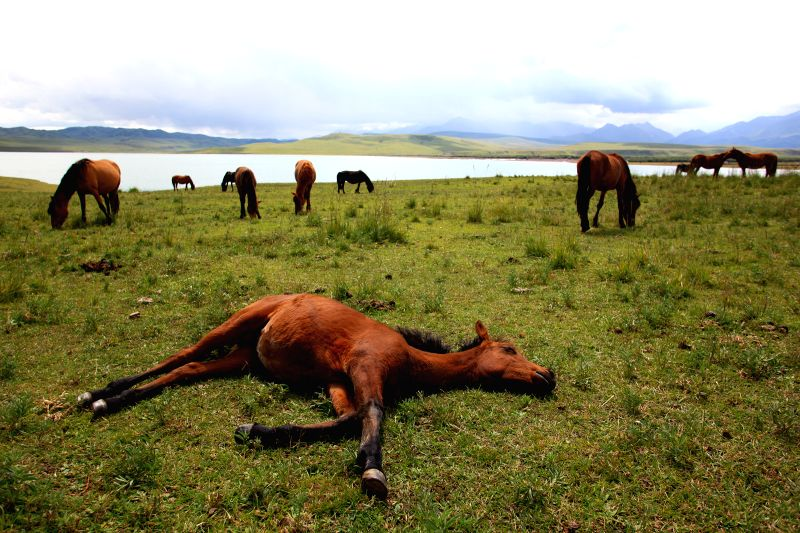 A horse lies on ground at the Shandan Horse Ranch in Zhangye City, northwest China's Gansu Province, Aug. 23, 2014. The Shandan Horse Ranch, which locates in the ...