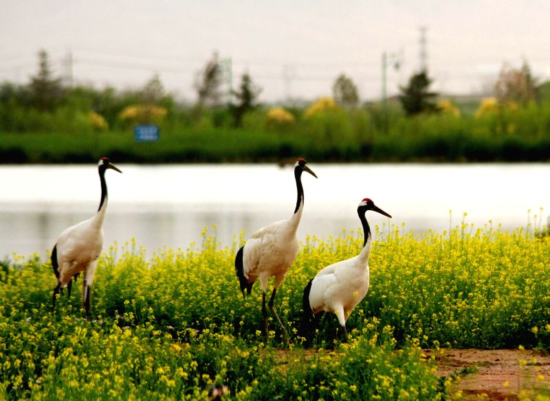 ZHANGYE, June 11, 2018 - Red-crowned cranes walk at the Zhangye National Wetland Park in Zhangye, northwest China's Gansu Province, June 11, 2018.