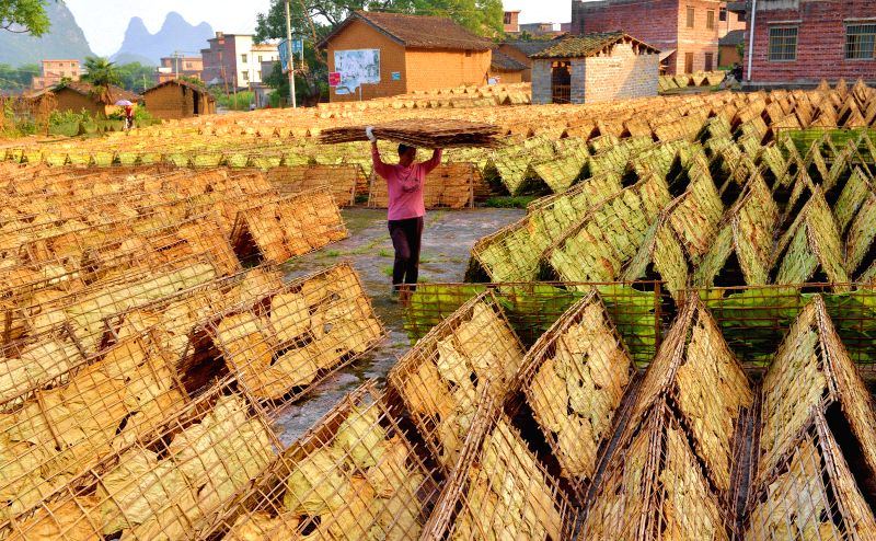 File photo taken on June 13, 2014 shows a farmer drying tabacco leaves in Huangyao Town of Zhaoping County, southwest China's Guangxi Zhuang Autonomous Region. ...