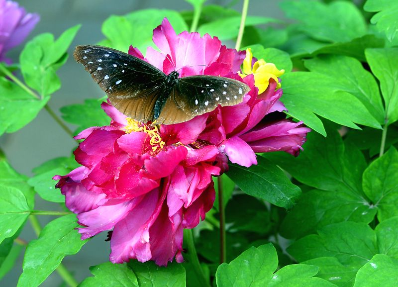 A butterfly rests on a peony flower during the 32nd Luoyang Peony Culture Festival in Luoyang, central China's Henan Province, April 13, 2014. (Xinhua/Wang ...