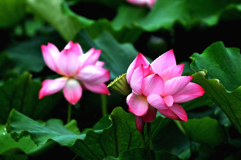 Photo taken on July 10, 2014 shows the lotus flowers at the Zijinshan Park in Zhengzhou, capital of central China's Henan Province.