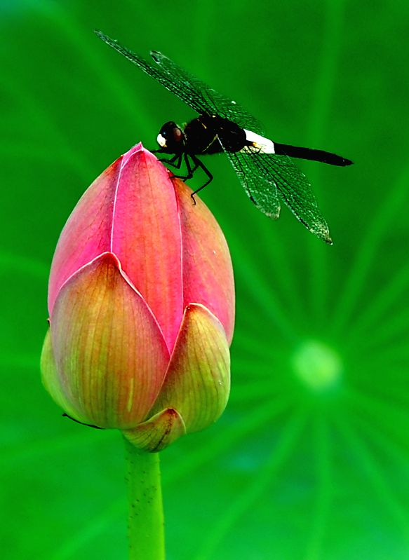 A dragonfly stays on a lotus bud at the Lotus Park in Luoyang, central China's Henan Province, July 12, 2014.