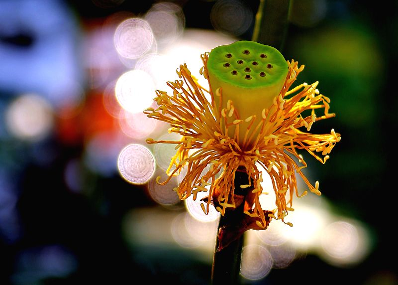 A lotus flower withers at the Lotus Park in Luoyang, central China's Henan Province, July 12, 2014.