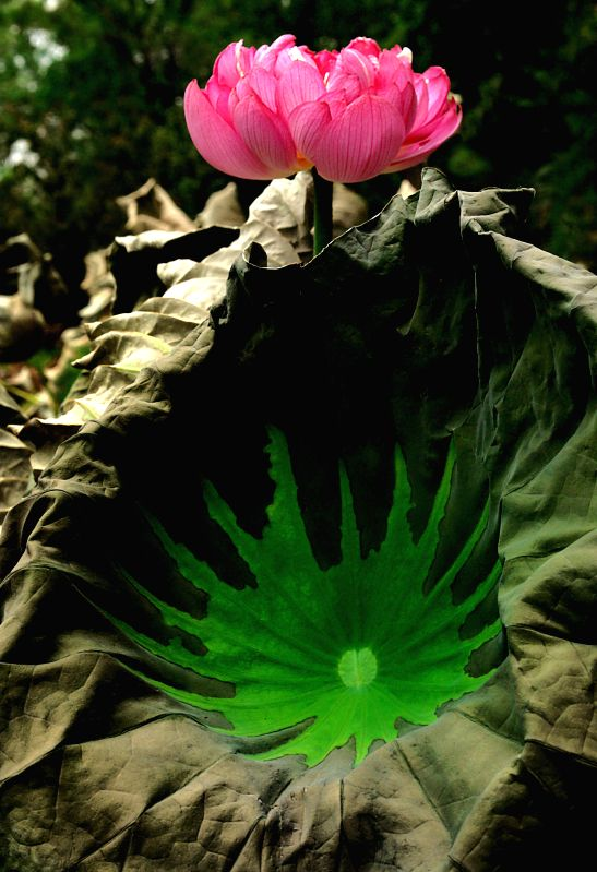 A lotus flower is in full bloom at the Lotus Park in Luoyang, central China's Henan Province, July 13, 2014.