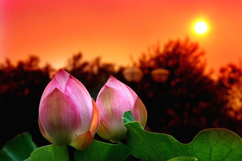 Photo taken on July 12, 2014 shows two lotus buds in the sunset at the Lotus Park in Luoyang, central China's Henan Province.