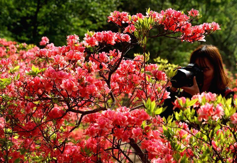 ZHENGZHOU, May 7, 2017 - A visitor takes photos of azalea flowers on Xitaishan mountain in Ruyang County, central China's Henan Province, May 6, 2017.
