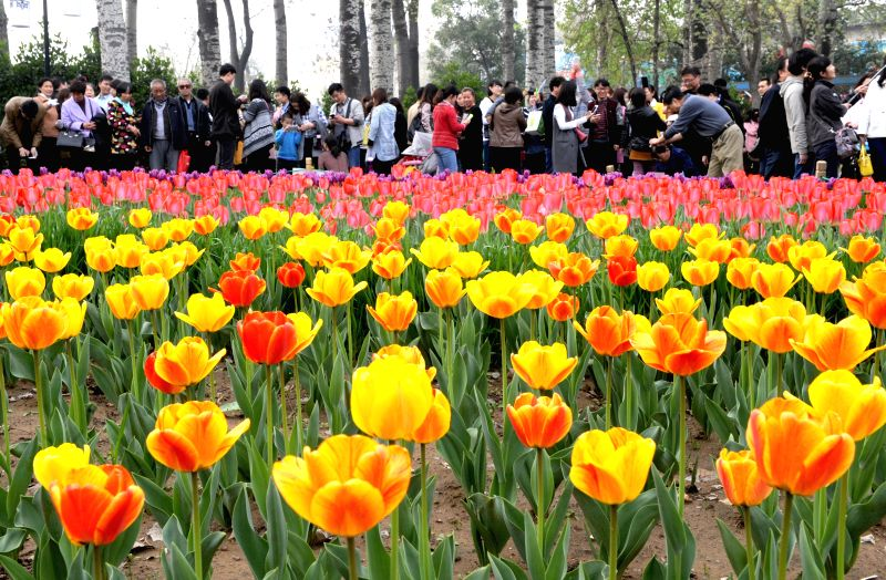 Photo taken on April 4, 2015 shows blooming tulips at Renmin Park in Zhengzhou, capital city of north China's Henan Province. The tulips here attracted many tourists to the park on the ...