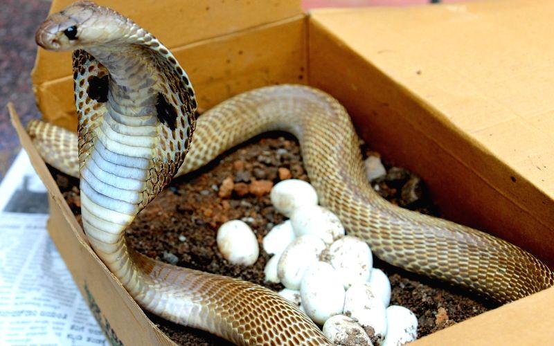 Deadly cobra comes home f
