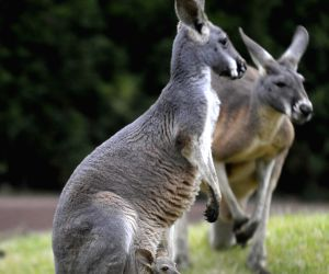 a-baby-kangaroo-and-its-mother-are-seen-at-the