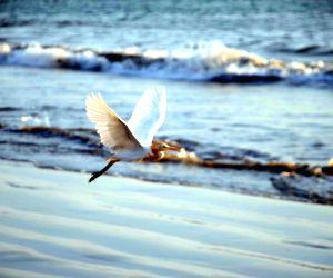 Malvan (maharashtra): Malvan Sea - Bird