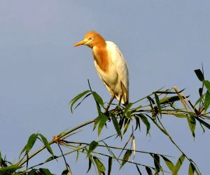 Chanripur (Tripura): Crane perched on a bamboo grove