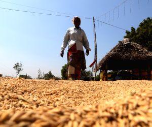 Odisha targets 55 lakh tonne paddy procurement during Kharif season