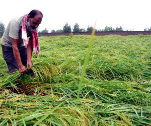 Faridabad (Haryana): Rains damage crops
