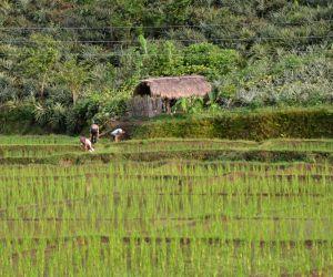 Nongpoh (Meghalaya): Paddy field
