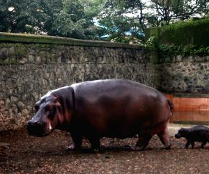 Baby Hippo at Byculla zoo