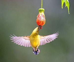 China-fujian-fuzhou-fork-tailed Sunbird