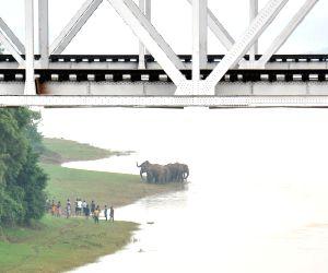 Elephants enter Jamunanaki