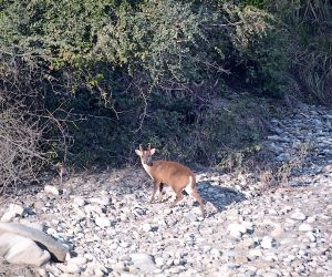Missing in action, Uttarakhand's goral and barking deer