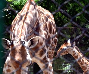 Giraffe with her baby at Alipore Zoological Gardens