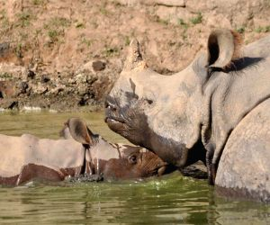 a-newly-born-baby-rhino-named-krishna-with-his