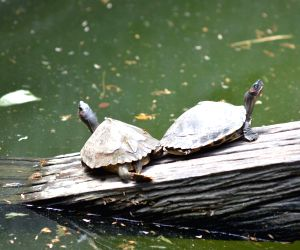 Guwahati : Assam Roofed Turtles