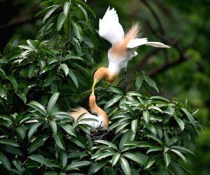 Egrets Seen On The Banks Of Brahmaputra