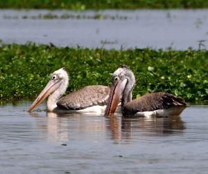 Morigaon (assam): Spot-billed Pelicans At Pobitora Wildlife Sanctuary