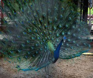 Peacock At Alipore Zoological Garden